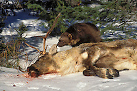 Wolverine (Gulo gulo) scavenges caribou carcass, winter, Rocky Mountains, North America.