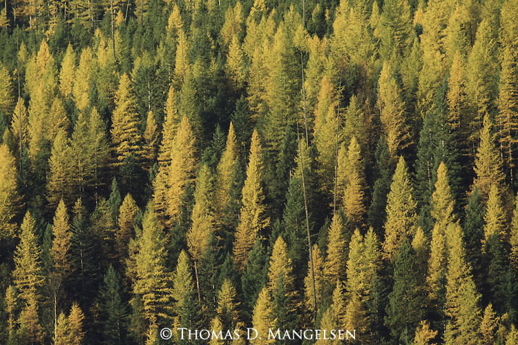 Western Larch, one of a few deciduous conifers in North America, nearing the peak of its fall color in Glacier National Park, Montana.