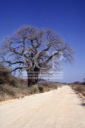 Near Tabora, Tanzania. White dirt road and single leafless baobab tree.