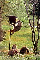 Group of raccoons feed at the birdfeeder, Midwest USA