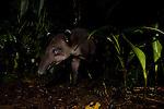 Baird's Tapir (Tapirus bairdii) male in rainforest, Tortuguero National Park, Costa Rica