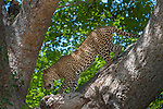 Male Leopard (Panthera pardus) climbing down a tree bough in afternoon sunshine. South Luangwa National Park, Zambia, Africa.