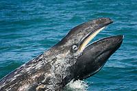 gray whale, Eschrichtius robustus, showing baleen, Gulf of California., Baja California, Mexico, Pacific Ocean