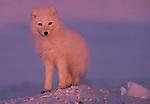 Arctic Fox, Ellesmere Island, Nunavut, Canada