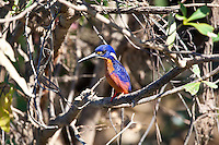 Azure Kingfisher, Yellow Water, Kakadu NP, NT, Australia