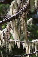 Bartflechte, Bartflechten, Bart-Flechte, Usnea spec., Old Man's Beard, Beard Lichen, Treemoss, Methuselah's beard lichen, l'arabe ushna, Alpen, alp, alps