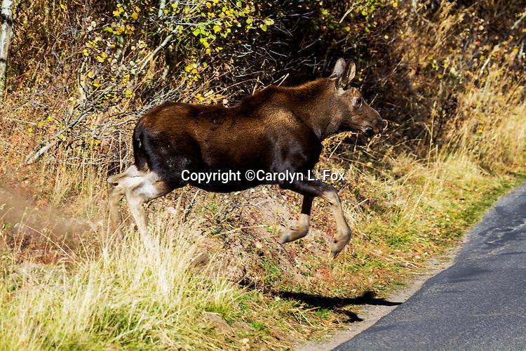 A moose calf runs across the road.