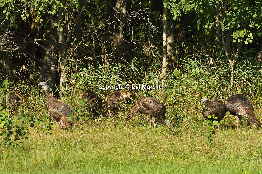 01225-092.12 Wild Turkey group of hens, jakes and jennys are in meadow on edge of forest during late summer.  Hunt, scout, young, feed.