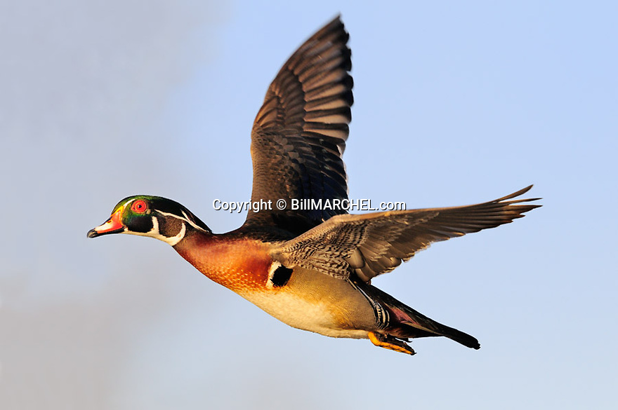 00360-105.17 Wood Duck drake in flight.  Fly, hunt, action, waterfowl.