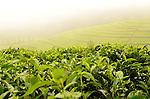 Tea plantations in mountanous northwest Rwanda..
