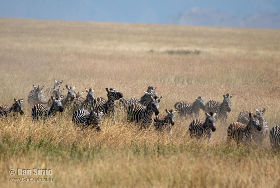 A herd of Grant's Zebras, Equus quagga boehmi, runs through tall grass in Serengeti National Park, Tanzania