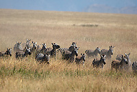A herd of Grant's Zebras, Equus quagga boehmi, runs through tall grass in Serengeti National Park, Tanzania