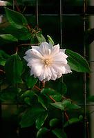 Clematis 'Duchess of Edinburgh' in white flowers
