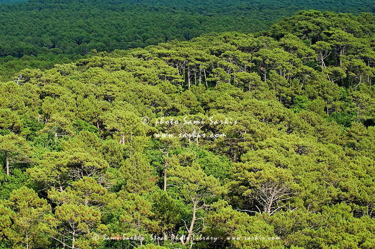 Lush treetops of Landes Forest, Aquitaine, France.
