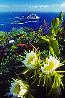 Night Blooming Cerus with flowering blossoms near Makapuu Point.  Rabbit island visible in the background.  Eastern Oahu