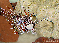 0130-1008  Antennata Lionfish (Broad-Banded Firefish, Spotfin Lionfish), Pterois antennata  © David Kuhn/Dwight Kuhn Photography