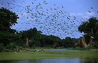 revoada de biguás (Phalacrocorax olivaceus) na Estação Ecológica do Cuniã - Rondônia. Dezembro de 2003