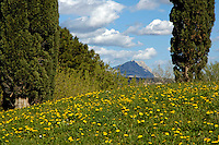 Cypress trees in a meadow in springtime with Montagne Sainte-Victoire in the background, Aix-en-Provence, France.