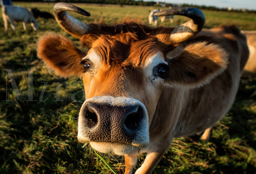 Close-up of a steer.