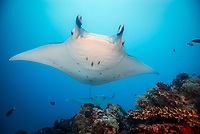 reef manta ray, Mobula alfredi, German Channel, Palau, Micronesia, Pacific Ocean