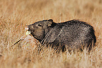 Collared Peccary, Javelina (Tayassu tajacu), adult eating cactus, Sinton, Corpus Christi, Coastal Bend, Texas, USA