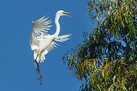 Great White Egret , Ardea alba, brakes for a landing at an urban rookery, Santa Rosa, Sonoma County, California.