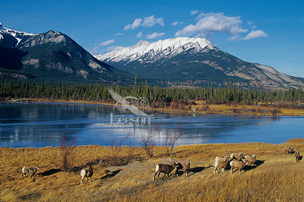 Rocky Mountain Bighorn Sheep herd.  Jasper N.P., Canada. Late Fall.