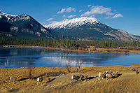 Rocky Mountain Bighorn Sheep herd.  Jasper N.P., Canada. Late Fall.