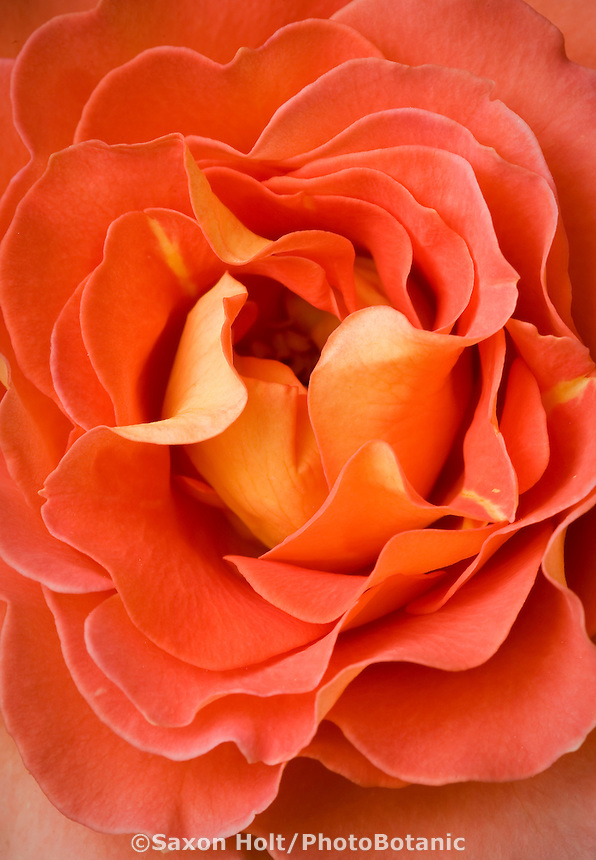 Rosa 'Brass Band' orange floribunda rose flower close-up petal detail