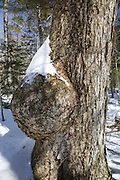 Large tree burl on an old yellow birch tree in the White Mountains of New Hampshire USA.