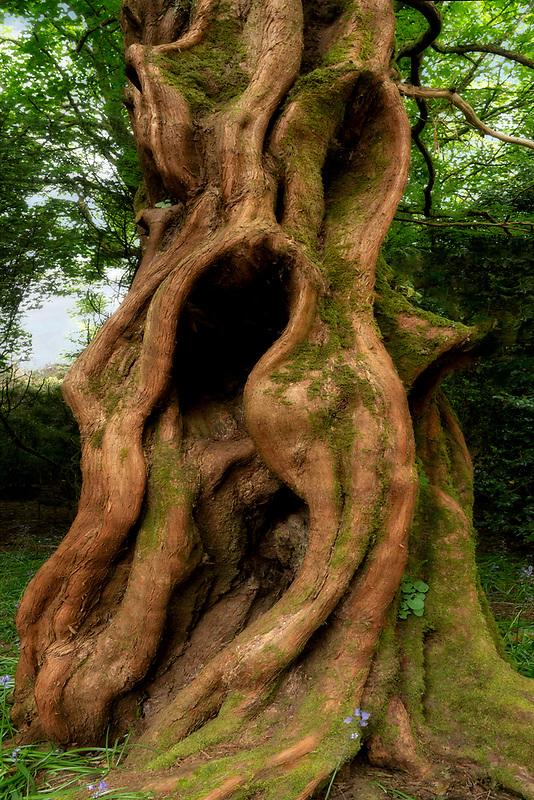 Dawn Redwood tree trunk. Trewidden Gardens, Cornwall, England