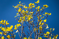 Yellow leaves on white branches against a blue sky on an autumn day at the MLK Regional Shoreline, Oakland, California.