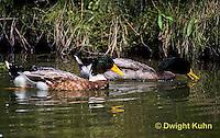 DG08-030z  Mallard Duck - male - Anas platyrhynchos