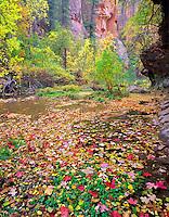 Fall color and West Fork Oak Creek. Red Rock Secret Mountain Wilderness, Arizona