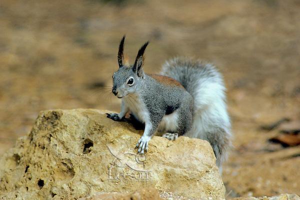 Abert's Squirrel or tassel-eared squirrel (Sciurus aberti).  South rim of Grand Canyon, Arizona.
