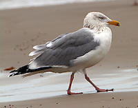 Adult herring gull in nonbreeding plumage in March