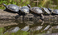 On warmer days in the Washington Park Arboretum, one can see painted turtles sunning themselves.