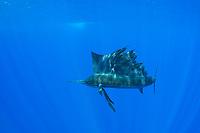 Pacific Ocean sailfish, Istiophorus platypterus, Vava'u, Kingdom of Tonga, South Pacific Ocean
