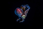 Paper Nautilus male WPB 4-26-19