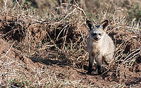 Our final encounter in the Serengeti was special: my first ever view of bat-eared foxes.