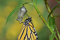 Monarch (Danaus plexippus), butterfly emerging from chrysalis on Tropical milkweed (Asclepias curassavica) wings unfolding, series, Hill Country, Texas, USA