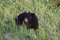 Black Bear (Ursus americanus), adult eating flowers, Yellowstone National Park, Wyoming, USA