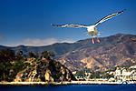 White seagul flying near Catalina, California