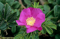 FP04-016c Flower Reproduction - wrinkled rose showing flower parts - Rosa rugosa (see FP04-011a,013b,015h,016c,020g)