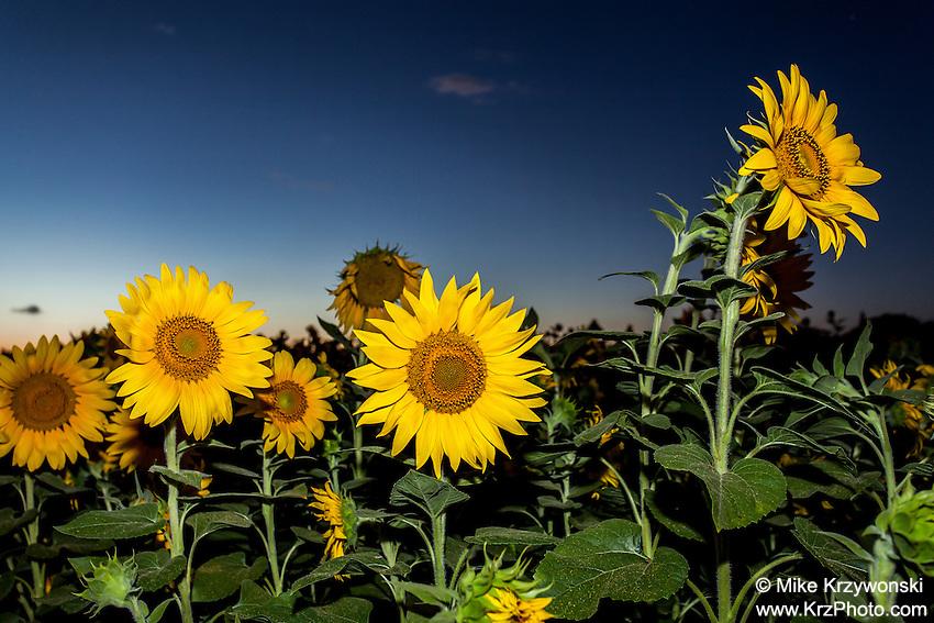 Field of Sunflowers at dusk in Haleiwa, Oahu, Hawaii