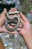 Würfelnatter, Würfel-Natter, Totstellreflex, Schlange stellt sich tot nach Ergreifen, Natter, Natrix tessellata, dice snake