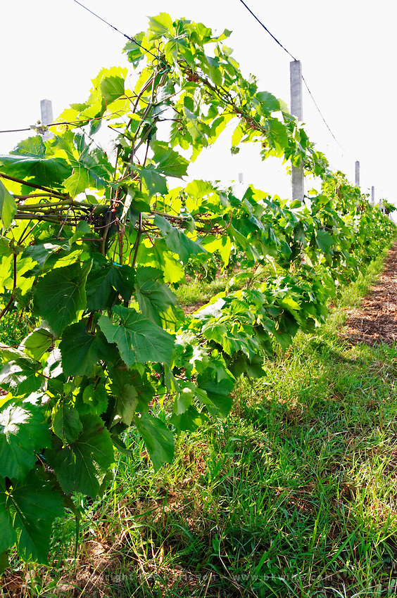 Vine that is grown with several long branches that will cut up in short pieces to be used to make vine cuttings. Fidal vine nursery and winery, Zejmen, Lezhe. Albania, Balkan, Europe.