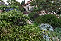 Eriogonum 'Bruce Dickinson', mounding groundcover shrub and silver foliage Eriogonum crocatum, Conejo Buckwheat in California native plant garden withg Arbutus 'Marina' tree; Vincent Garden