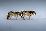 USA, Wyoming, Yellowstone National Park, gray wolves (Canis lupus)