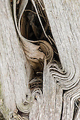 Richmond Park, England. Bark of tree, crumpled like sheets of paper in an old book.